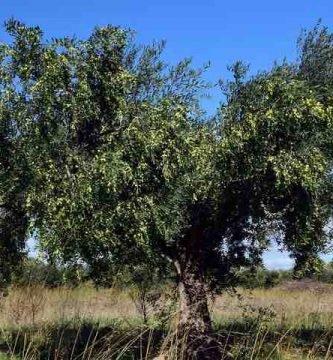 Poda del olivo