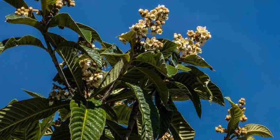 Nispero en flor, cuando se podan los nísperos, cuando podar un níspero, podar níspero, como podar un níspero grande, cuando se podan los nísperos