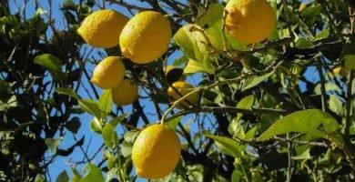 podar un limonero